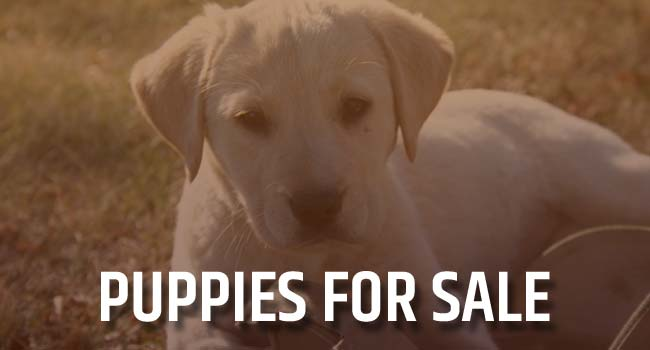 Puppies for Sale from Hybrid Retrievers