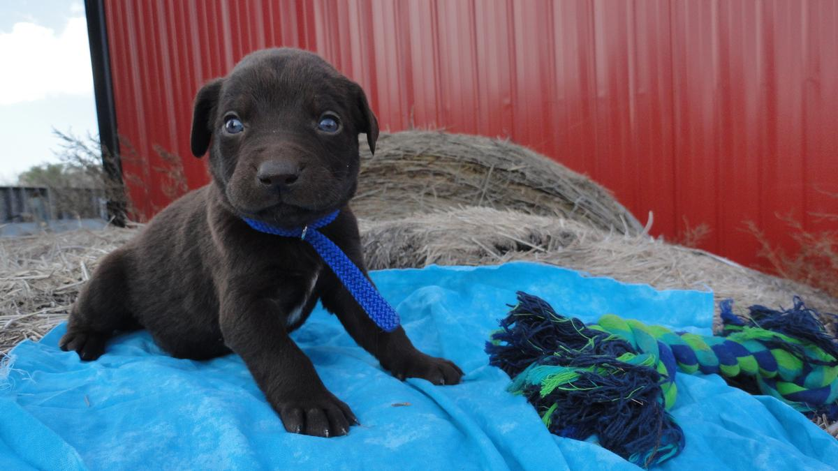 Chocolate Lab Blue Eyes Puppies For Sale