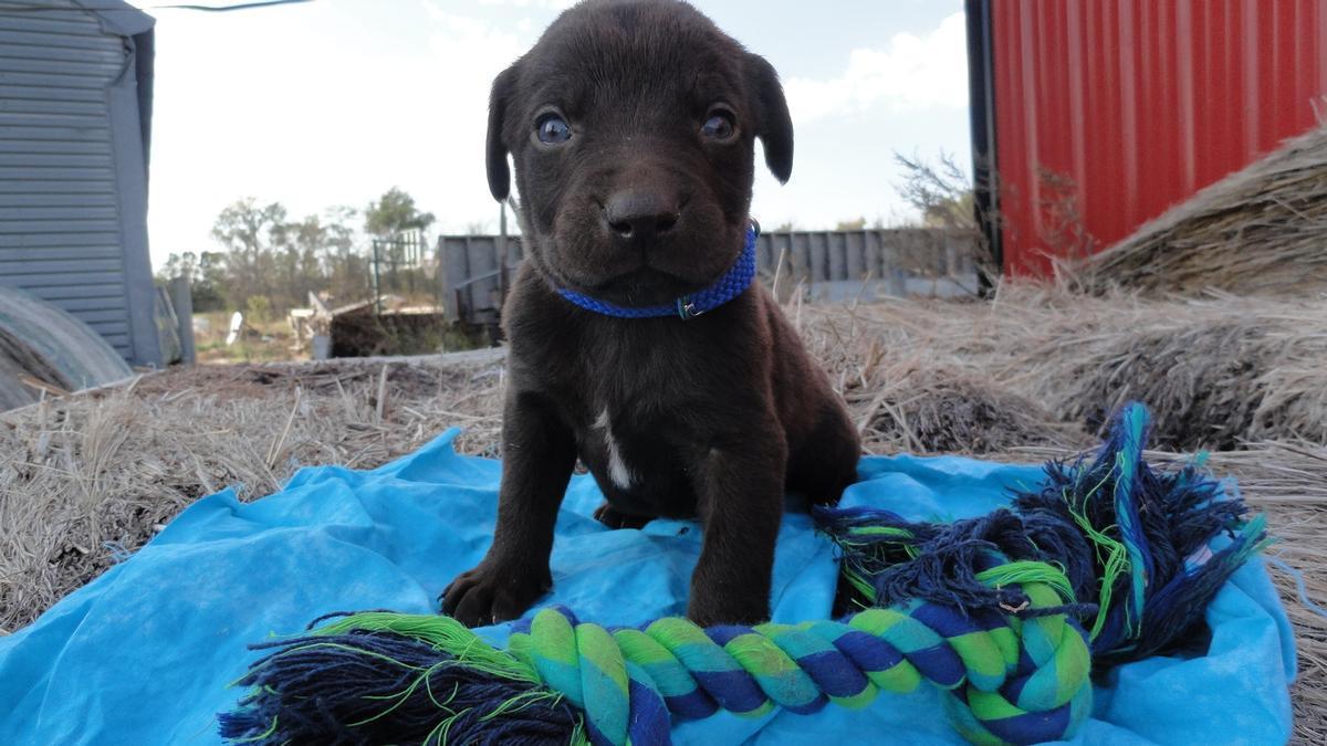 Chocolate Male with Blue Eyes