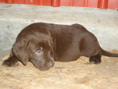Chocolate with White Chest Male 3