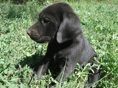 Black Female Puppy