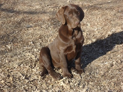 Chocolate lab puppy for sale soon to be hunting pheasant