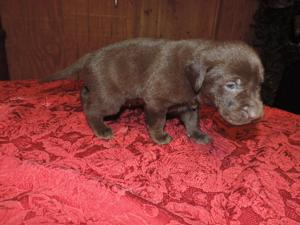 Chocolate Male Hybrid Lab puppy for sale 2