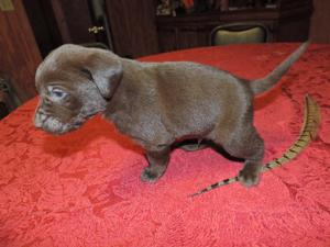 Chocolate Male Hybrid Lab puppy for sale