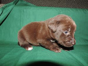 Chocolate Male with white Stripe and white toe