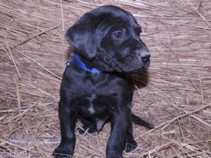 Black Male Hybrid Labrador Puppy