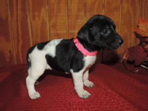 Black puppy and white spotted female  4