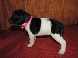 Black puppy and white spotted female  5