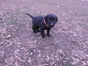 Black Labrador Hybrid Puppy for sale 4