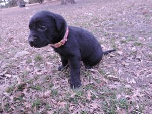 Black Labrador Hybrid Puppy for sale 5