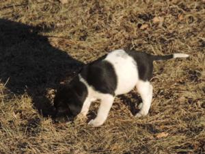 Black puppy and white spotted female