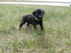 Black Male Puppy