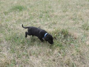 Black Male Puppy for sale 2