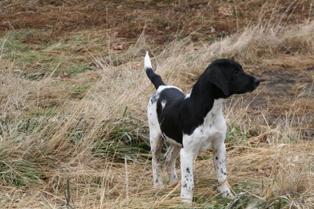 Black And White Spotted Shorthair Lab Cross Hunting Dog