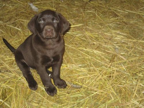 Chocolate Female Labrador puppy for sale hybrid cross