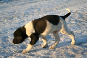 Black and White Spotted Male Puppy 3