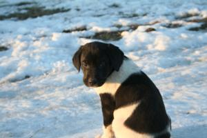 Black and White Spotted Male Puppy