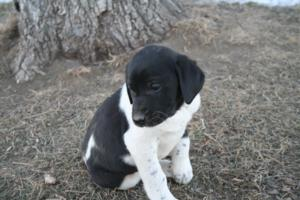 Black and White Spotted Male Puppy 4