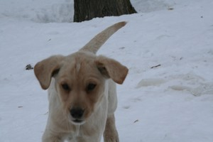 male lab shorthair cross