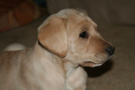 male lab shorthair cross 4