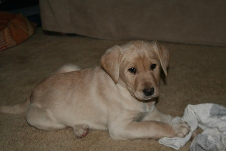male lab shorthair cross 2