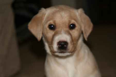 Lab Cross Female