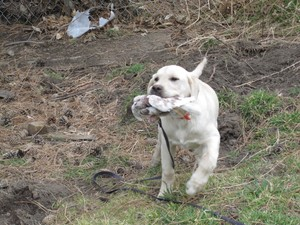 Yellow lab hunting south dakota