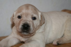 Female Yellow Lab Shorthair Cross #13