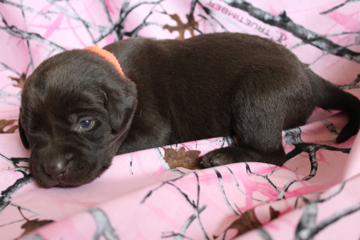 Chocolate Female Pointing Labrador Puppy 3