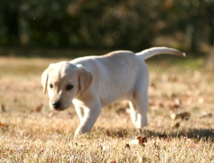 Yellow Lab Female