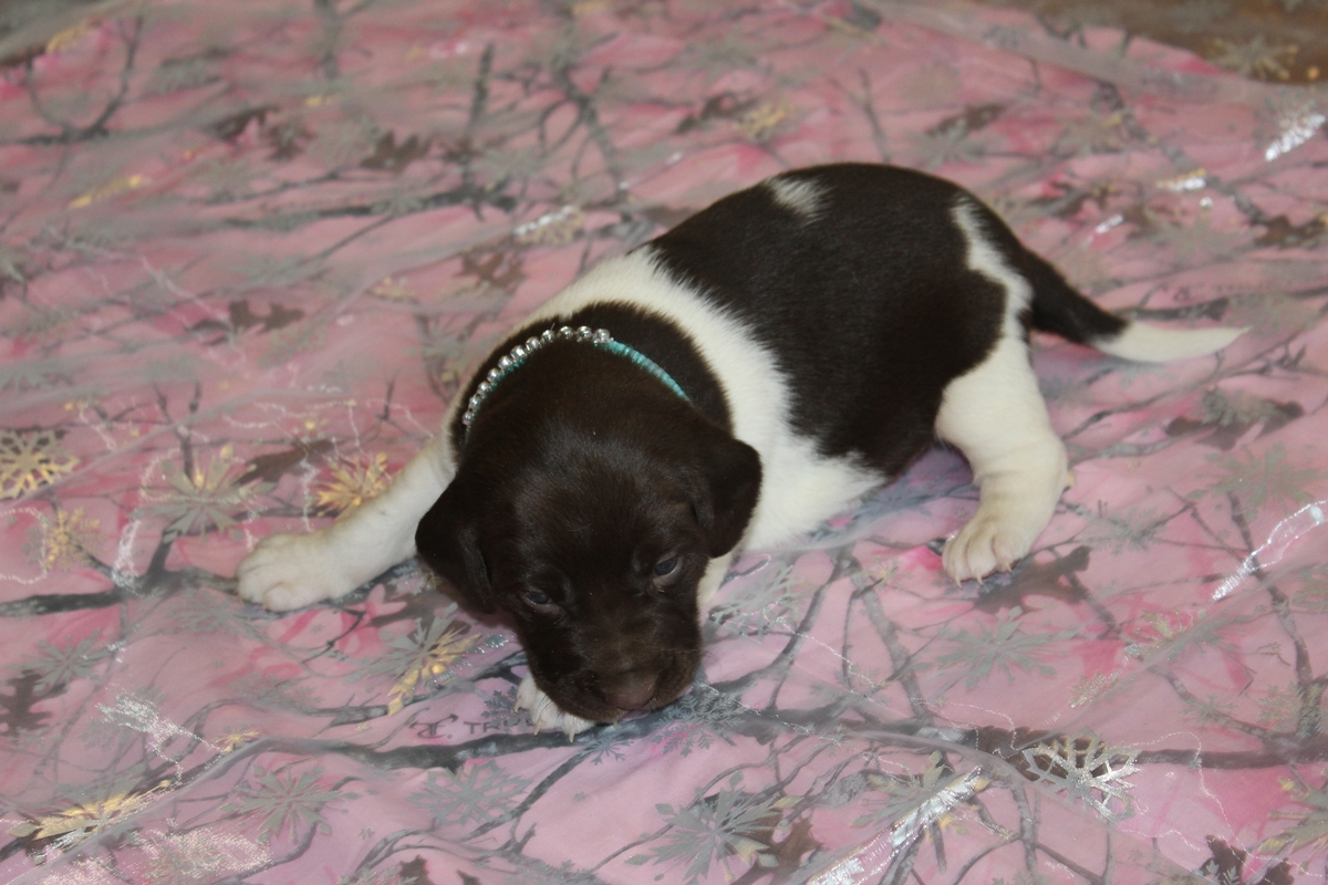 Chocolate and White Female Puppy 5