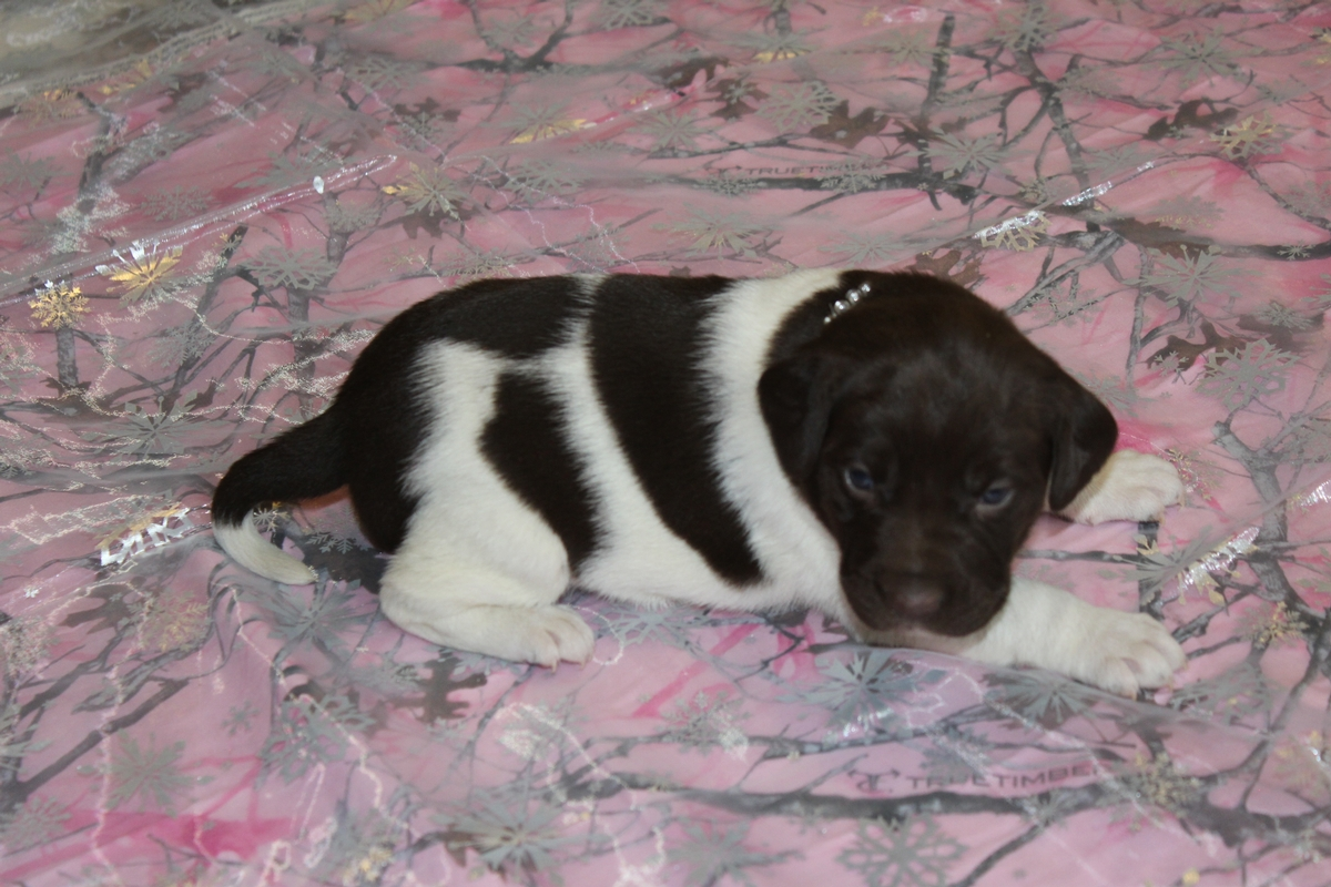 Chocolate and White Female Puppy 4