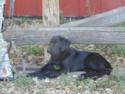 Black Male Hybrid Retriever