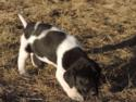 Black and White Spotted Female Puppy
