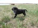 Black Male Puppy for sale