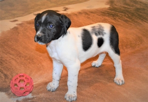 Black and White Spotted Puppy