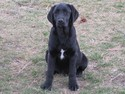 Black lab female