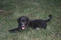 Black Male Hybrid Retriever Puppy