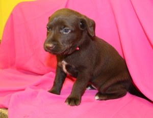 Chocolate Female Hybrid Labrador Puppy