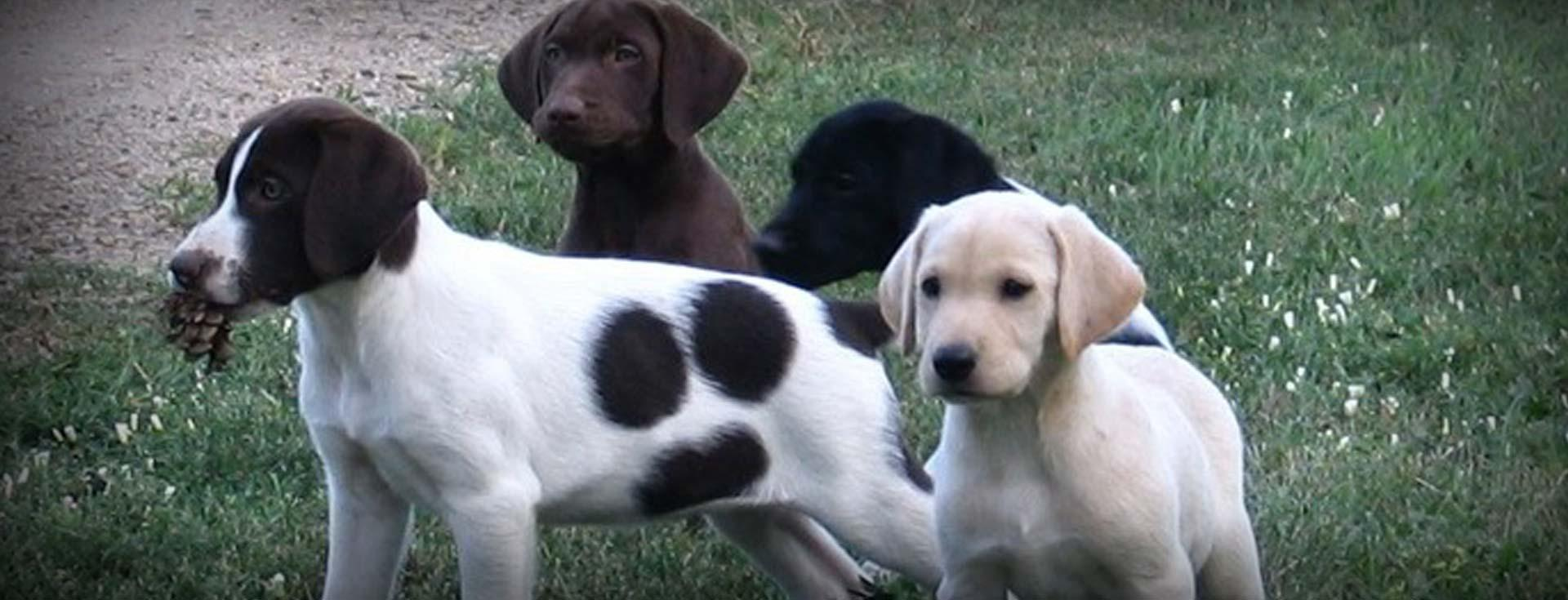 German Shorthaired Lab Mix | GSP Labrador Hybrid Hunting Dogs