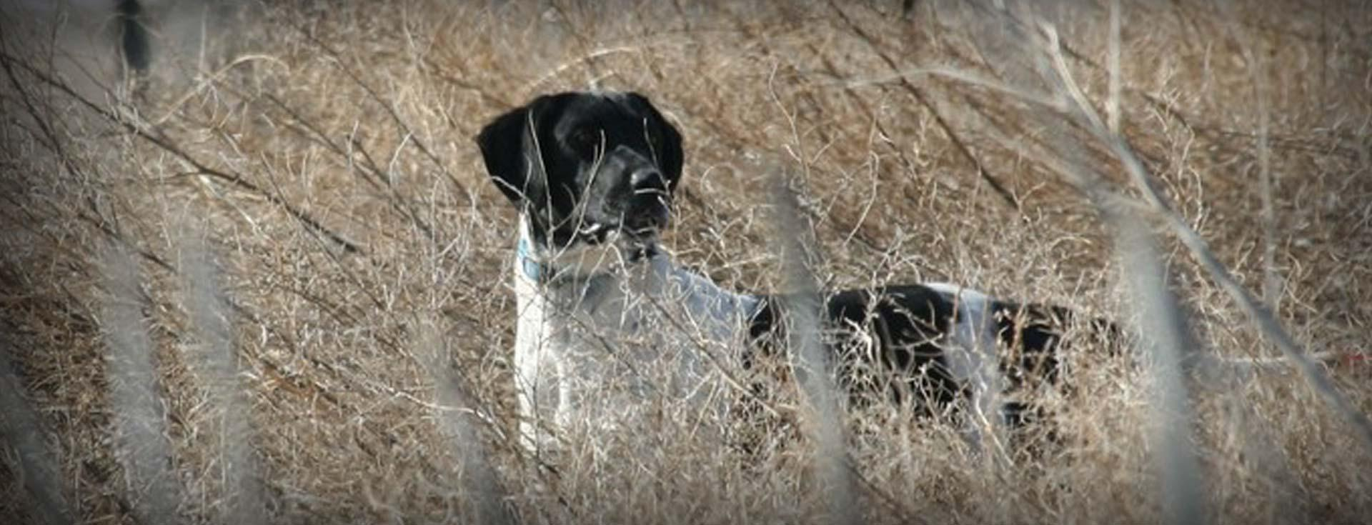 German Shorthaired Pointer Adults For Sale