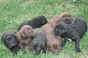 German Shorthaired Lab Mix Gsp Labrador Hybrid Hunting Dogs